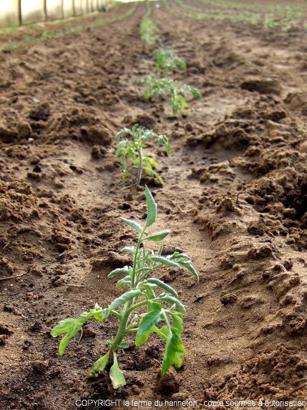 Du semis la plantation les tomates la ferme du hanneton - Plantation de tomates ...
