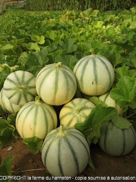 130814-Melon1