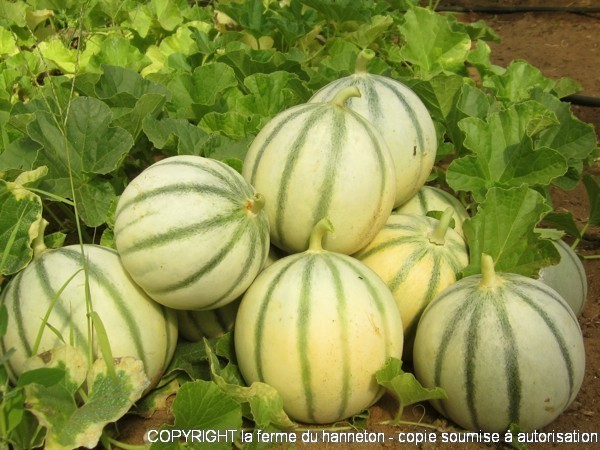 130814-Melon2