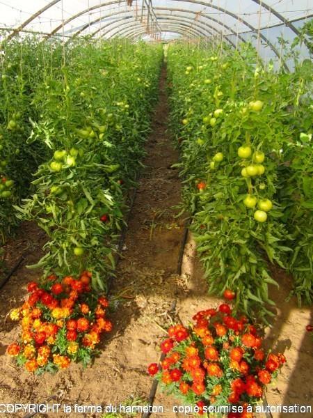 Serre1-tomates