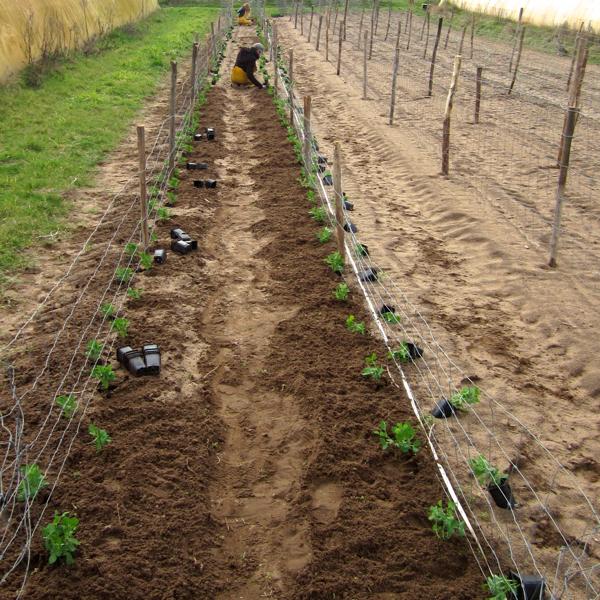 Plantation des petits-pois 2017 - La ferme du hanneton