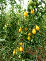 Tomate cerise yellow