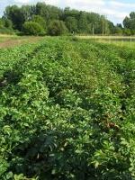 Pommes de terre de conserve