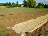 champ de rutabagas, betteraves et poireaux