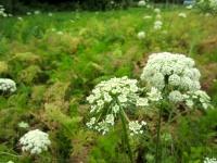 Carottes d'été en fleur (trop chaud en juin juillet)