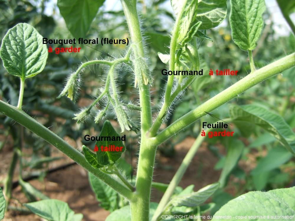 Palissage et taille des tomates la ferme du hanneton - Faut il couper les fleurs fanees des hortensias ...
