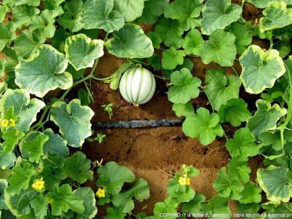 130724-Melon