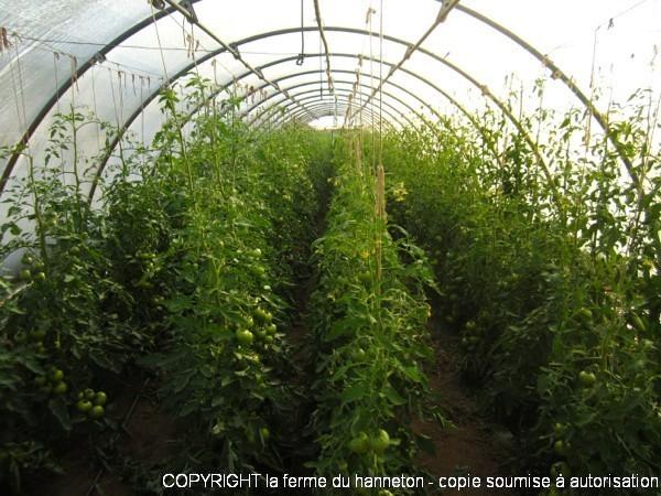Serre4-Tomates