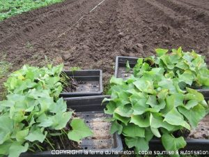 courge butternut plantation finest jeune plant de courgette with courge butternut plantation. Black Bedroom Furniture Sets. Home Design Ideas