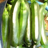 Lot de 10 courgettes