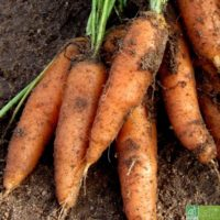 Lot de 3 kg de carottes