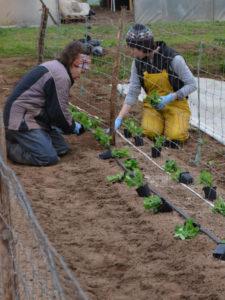 Plantation des petits-pois