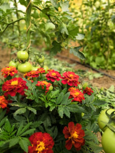 Palissage des tomates et fleurs