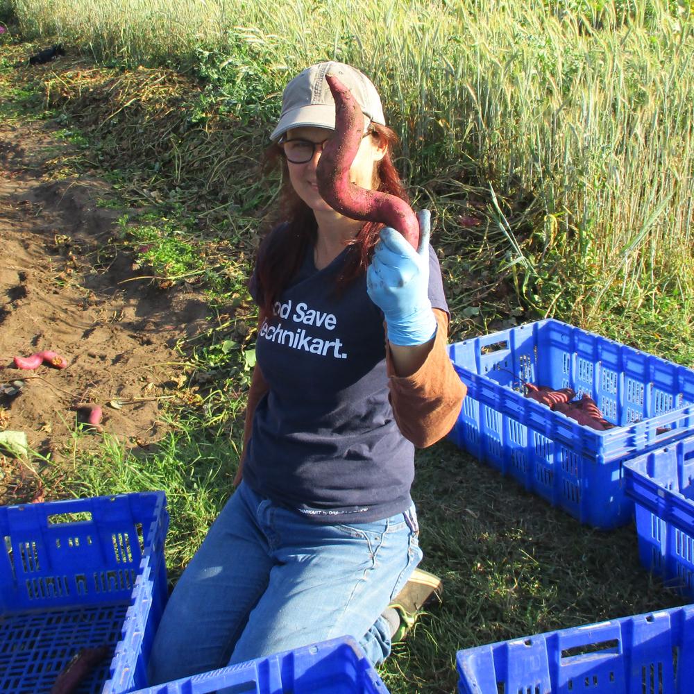Récolte des patates douces : 14 et 21 septembre