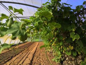 Chayotte, christophine, chouchou… les tropiques dans les champs sarthois