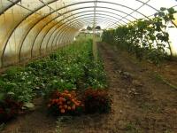 Serre 5 : aubergines, poivrons et concombres
