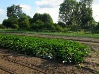 champ de courgettes, oignons, céleris, bettes et betteraves