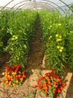 Serre 1 : tomates