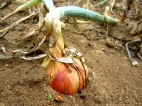 Oignon (récolté depuis)