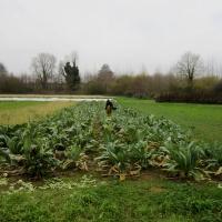Aline, dépitée, doit pendant ce temps-là, encore récolter des choux-fleurs